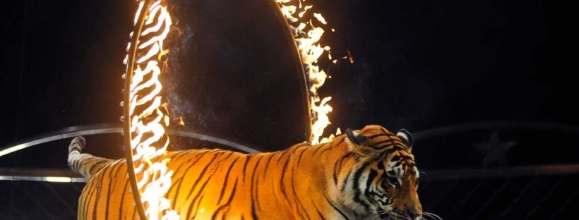 tiger jumping through hoop on fire at circus