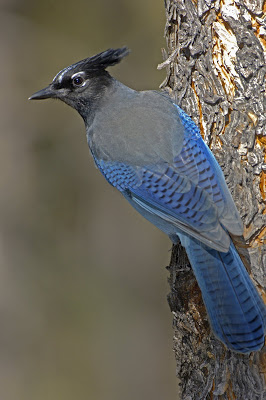 Image result for blue jay new mexico